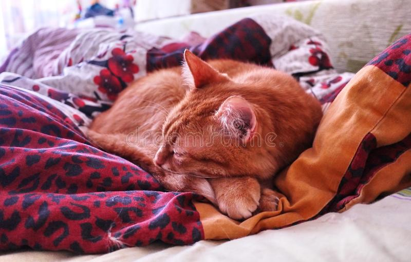 Occhiata di Sly uno zenzero a Gatto rosso che dorme in una posizione accogliente sul letto immagini stock libere da diritti
