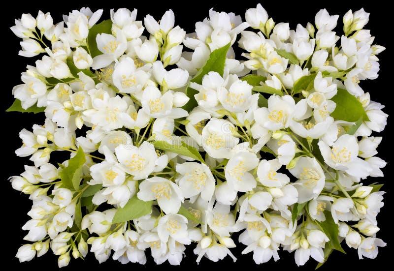 Occhiello dai fiori bianchi del gelsomino immagini stock