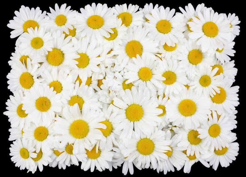Occhiello dai fiori delle margherite bianche immagini stock libere da diritti