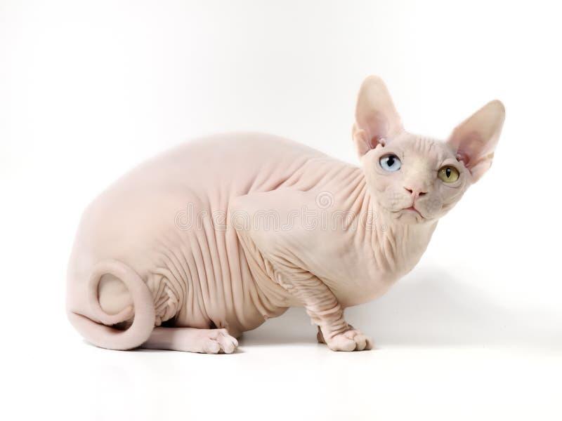 Occhio blu e giallo del gatto femminile dello sphynx canadese fotografia stock libera da diritti
