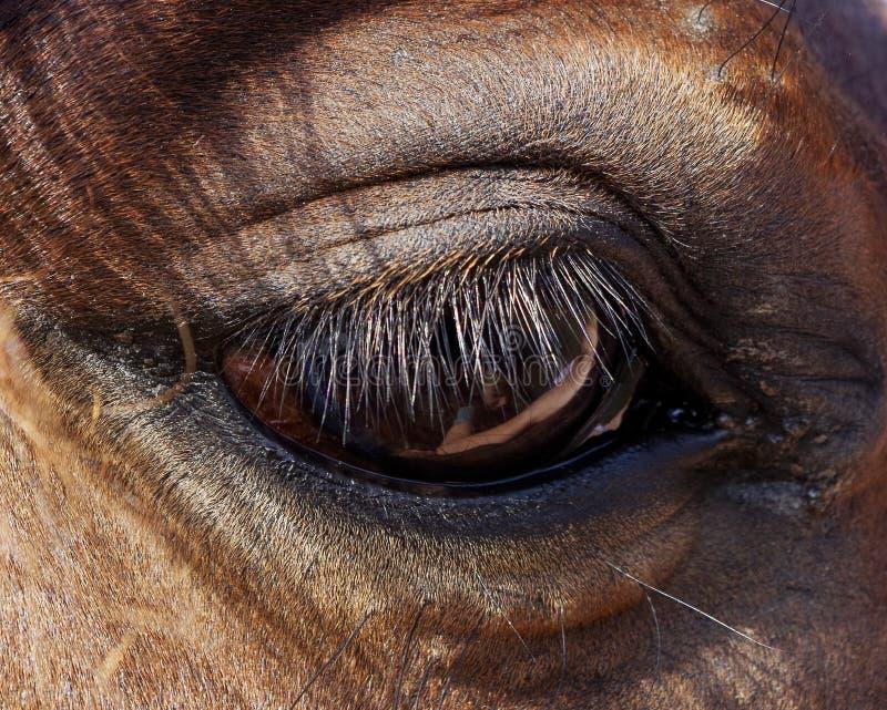 Occhio dei cavalli del primo piano immagine stock libera da diritti