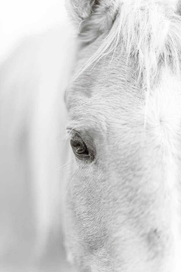 Occhio del cavallo del palomino - in bianco e nero immagine stock libera da diritti