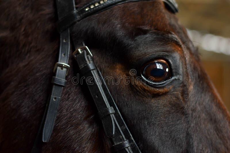 Occhio del cavallo di baia fotografie stock