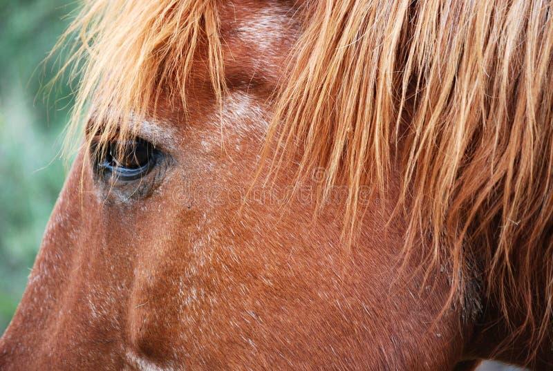 Occhio del cavallo di Brown nel campo di Cordova dell'argentino fotografie stock libere da diritti
