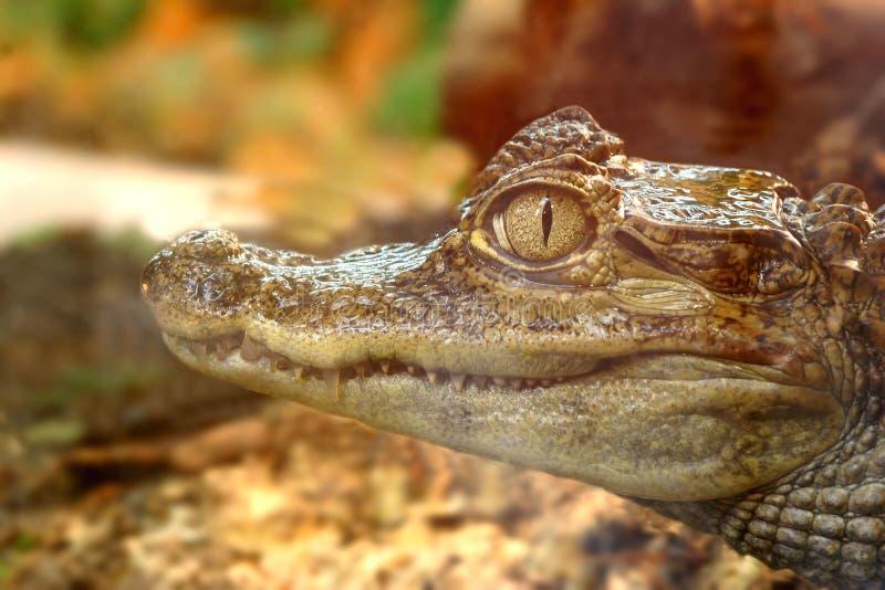 Occhio del coccodrillo fotografia stock libera da diritti