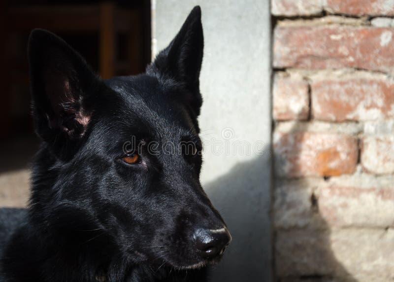 Occhio del fronte nero del pastore tedesco immagini stock libere da diritti