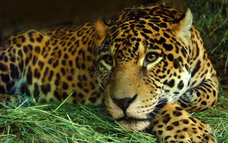 Occhio del giaguaro fotografie stock libere da diritti