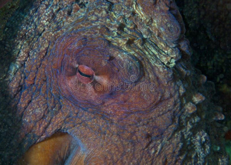 Occhio del polipo gigante Enteroctopus, fotografie stock libere da diritti