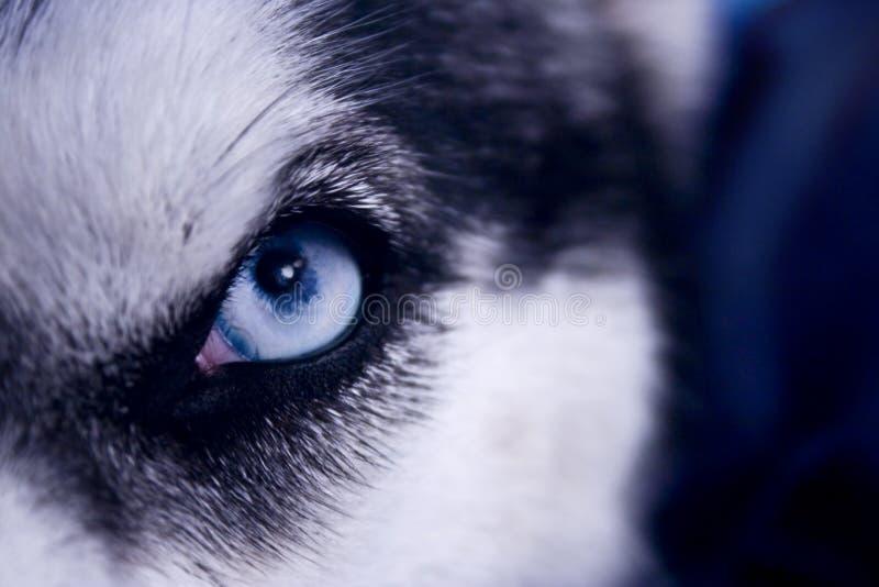 Occhio del predatore immagine stock