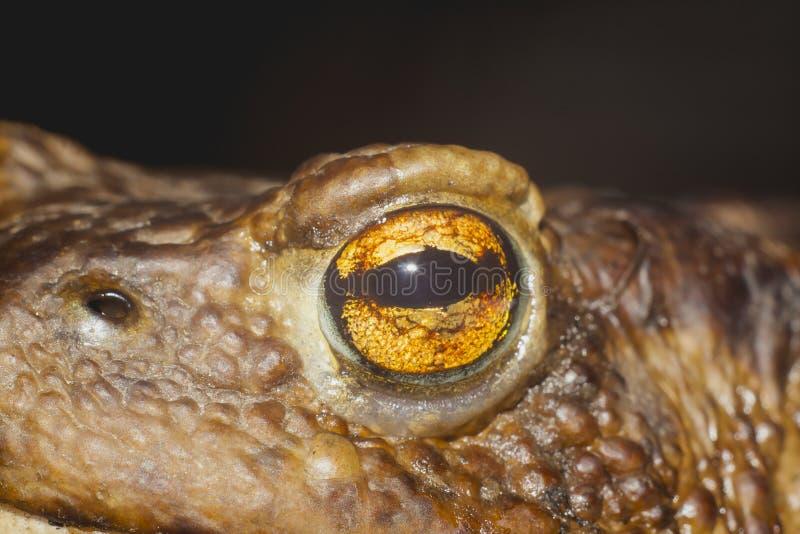 Occhio del rospo a terra fotografie stock