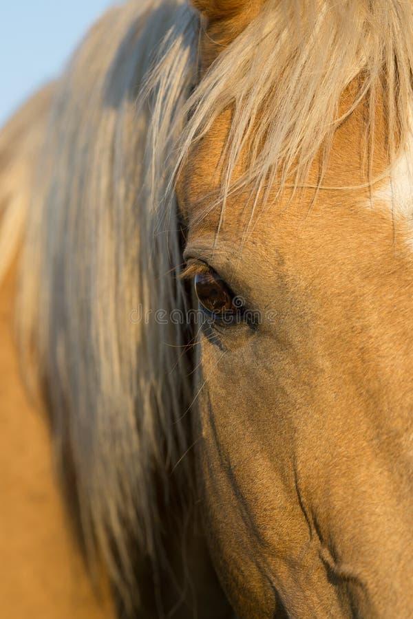 Occhio del ` s del cavallo del palomino fotografie stock libere da diritti