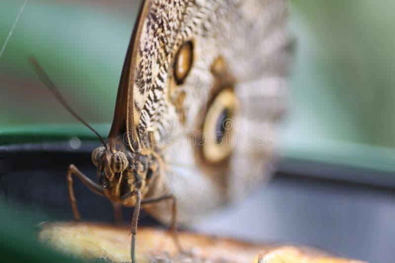 Occhio della farfalla immagini stock