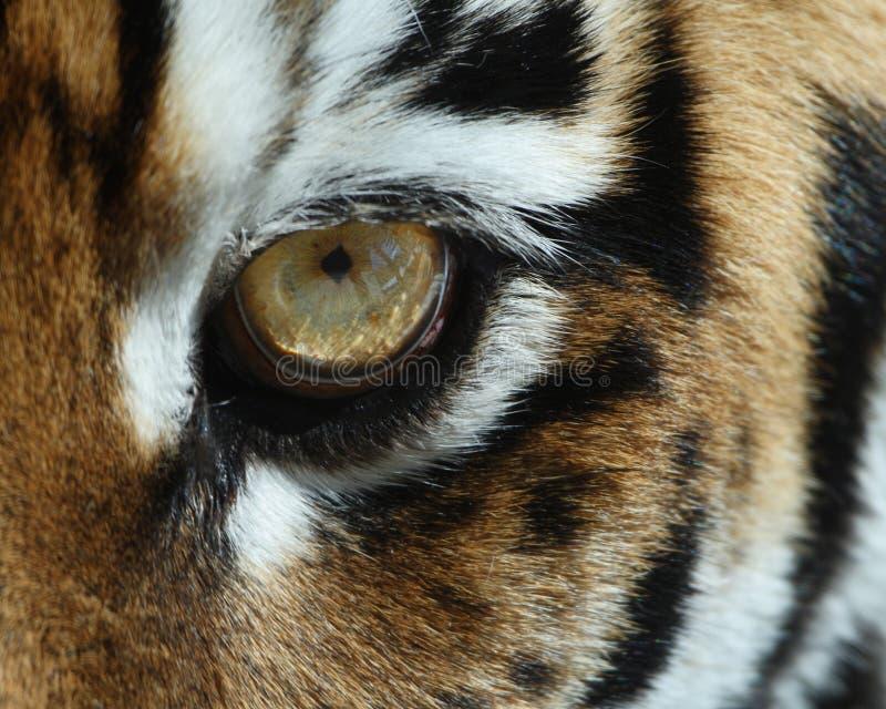 Occhio della tigre fotografie stock