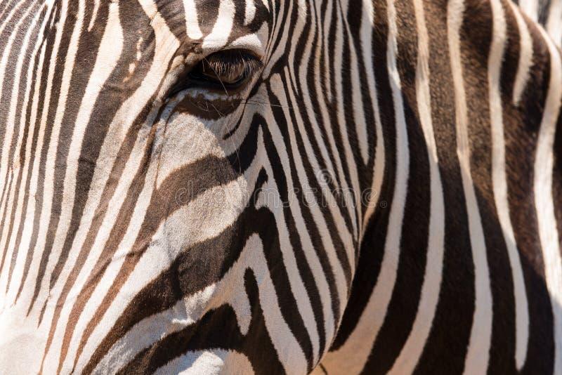 Occhio della zebra immagine stock libera da diritti