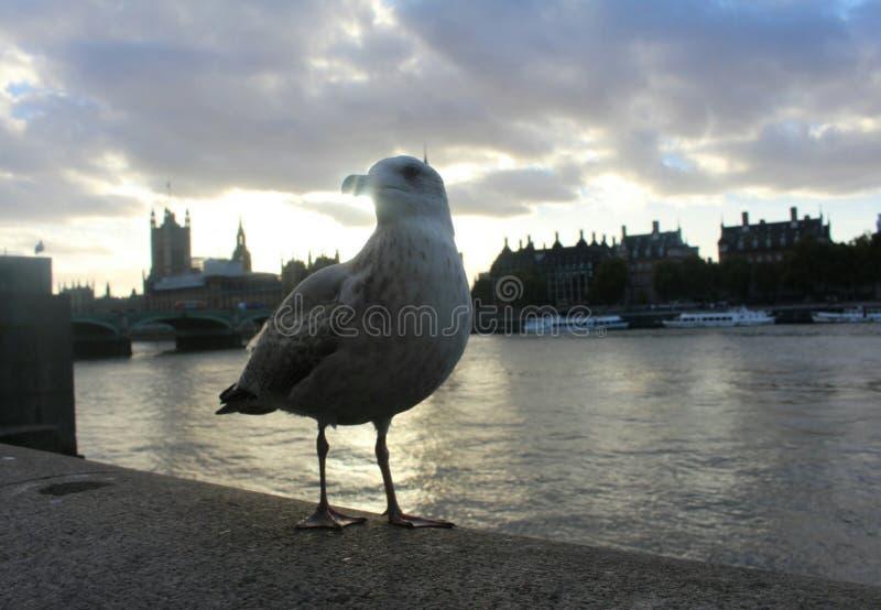 Occhio di Londra del gabbiano fotografia stock