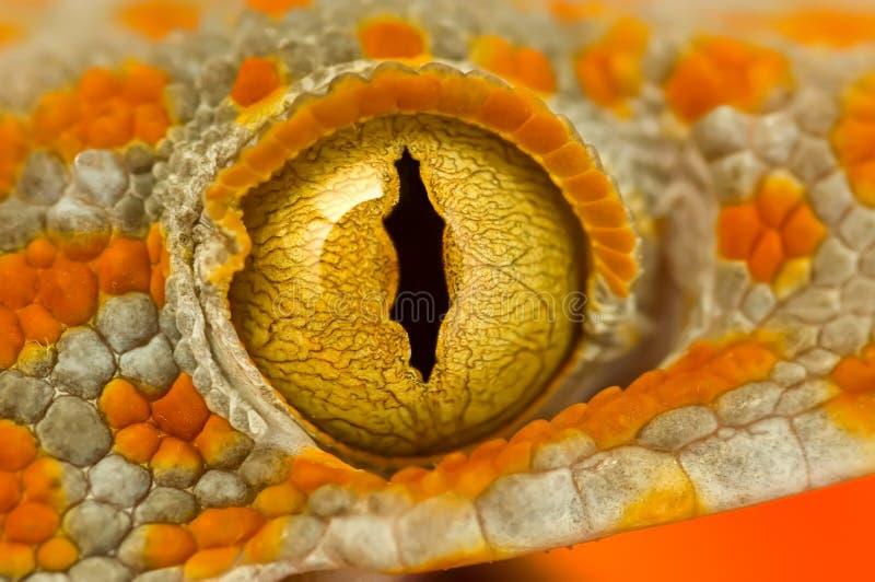 Occhio di un Gecko di Tokay fotografia stock libera da diritti