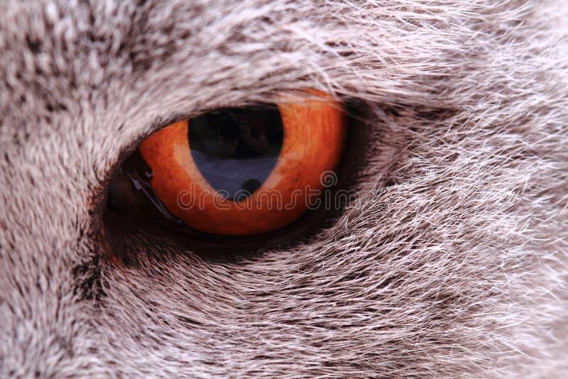 occhio giallo grigio dal gatto britannico fotografie stock