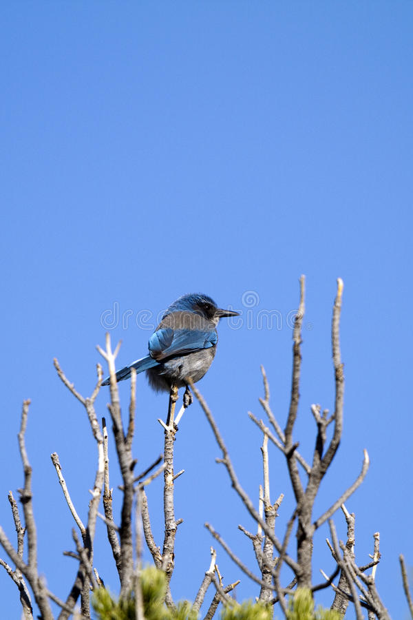 Occidental frottez Jay, californica d'Aphelocoma image stock