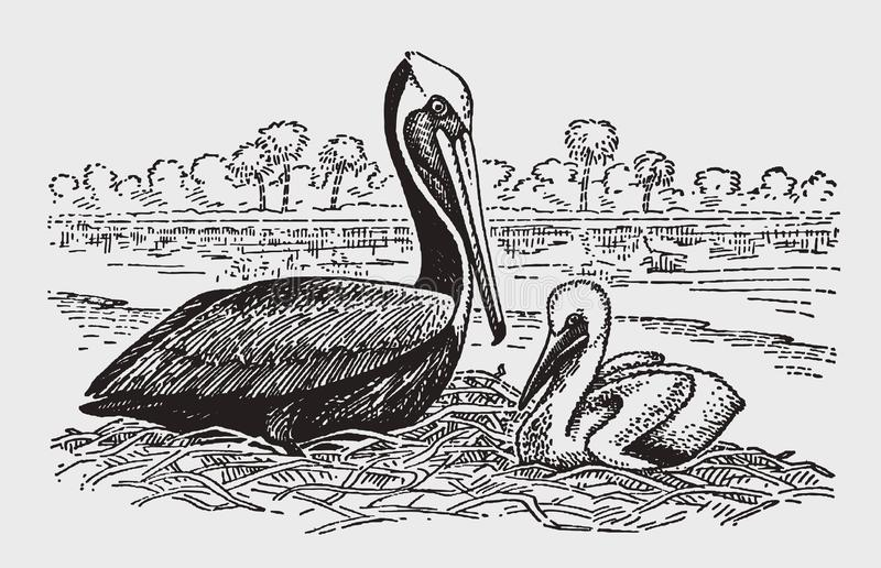 Occidentalis bruns adultes de pelecanus de pélican avec un poussin se reposant sur un nid illustration de vecteur