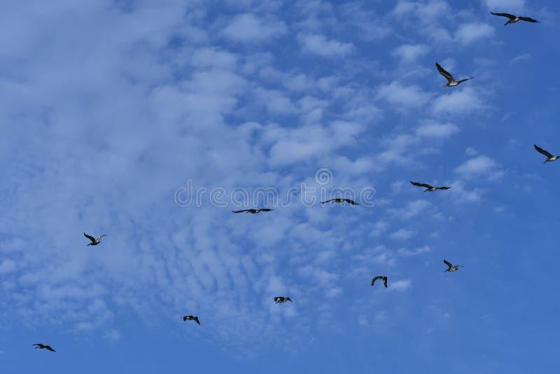 Occidentalis de Pelecanus de pélican en vol - la vie d'oiseau de l'Océan Atlantique de Côte Est - images stock
