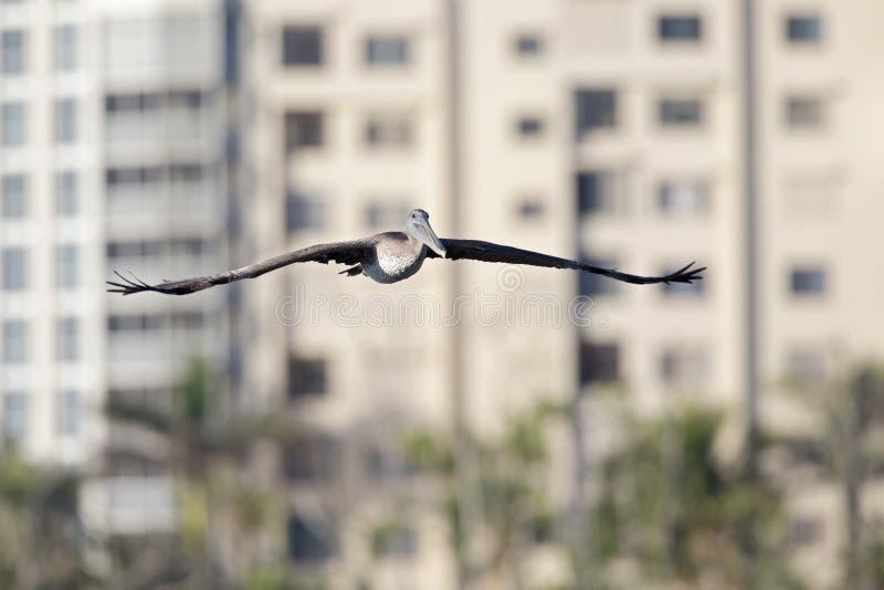 Occidentalis del marrón de un Pelecanus del pelícano en vuelo delante de condominios en el fuerte Myers Beach Florida imagen de archivo libre de regalías