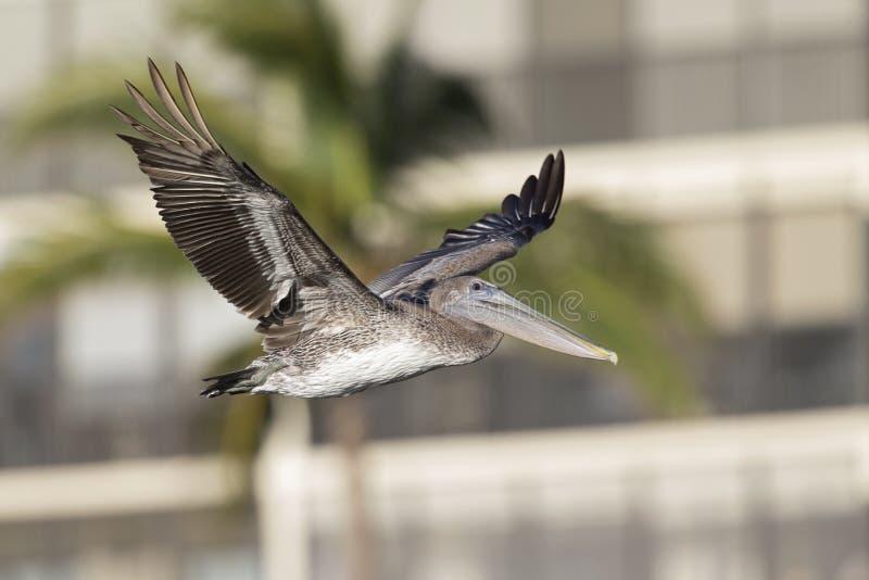 Occidentalis del marrón de un Pelecanus del pelícano en vuelo delante de condominios en el fuerte Myers Beach Florida foto de archivo