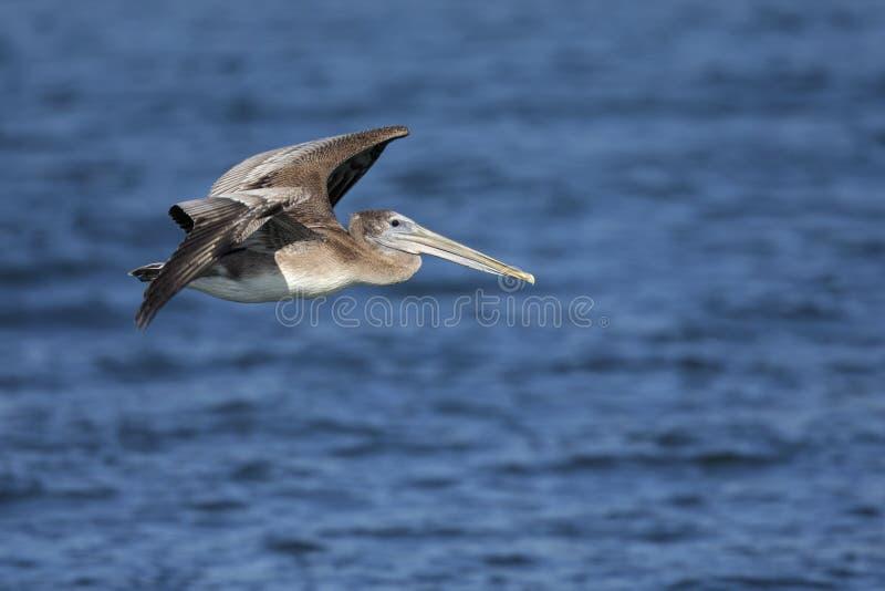 Occidentalis del marrón de un Pelecanus del pelícano en vuelo en el musgo que aterriza California fotografía de archivo