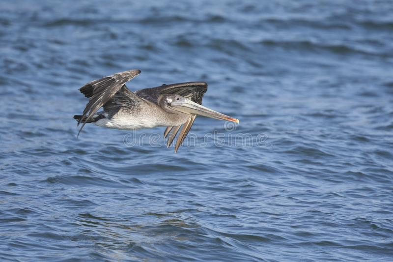 Occidentalis del marrón de un Pelecanus del pelícano en vuelo en el musgo que aterriza California foto de archivo