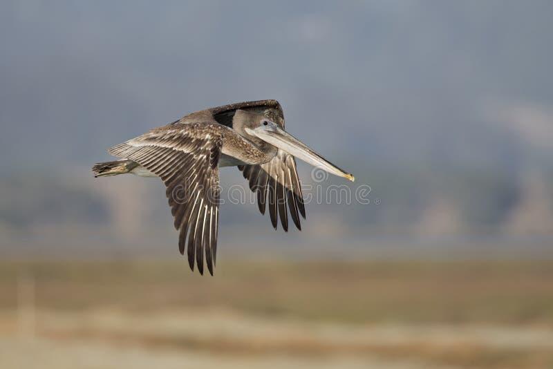 Occidentalis del marrón de un Pelecanus del pelícano en vuelo en el musgo que aterriza California imagenes de archivo