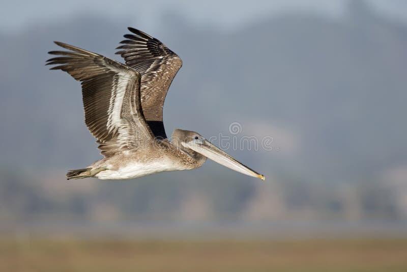 Occidentalis del marrón de un Pelecanus del pelícano en vuelo en el musgo que aterriza California fotografía de archivo libre de regalías