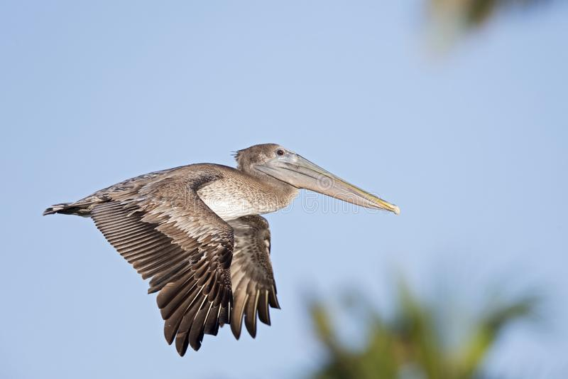 Occidentalis del marrón de un Pelecanus del pelícano que vuelan delante de un cielo azul y de las palmeras en el fuerte Myers Bea imagenes de archivo
