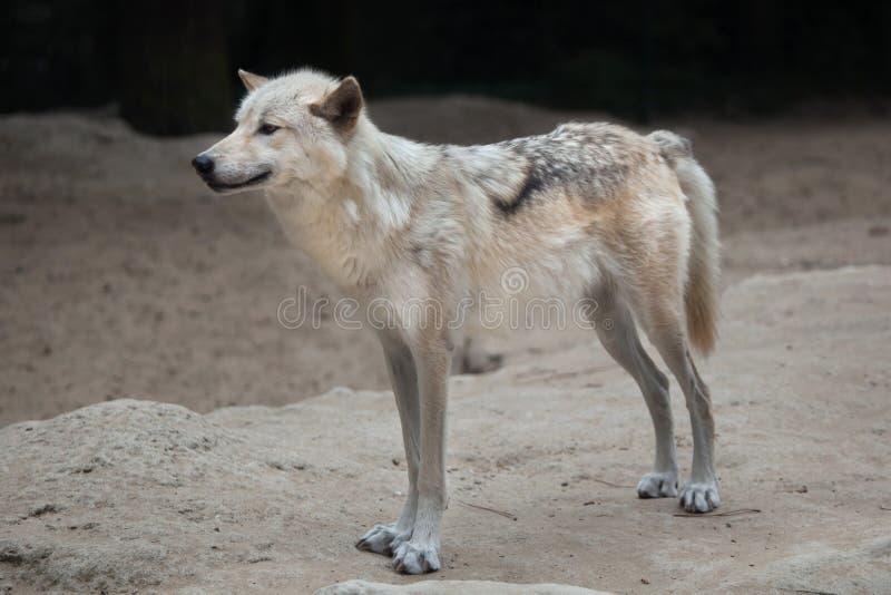Occidentalis do noroeste do lúpus de Canis do lobo fotografia de stock royalty free