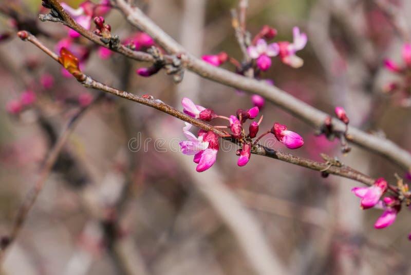 Occidentalis occidentaux de Cercis de redbud, la Californie photographie stock