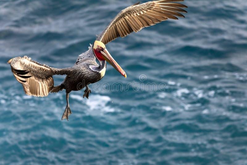 Occidentalis Pelecanus птицы пеликана Брауна летая над Тихим океаном стоковые изображения rf