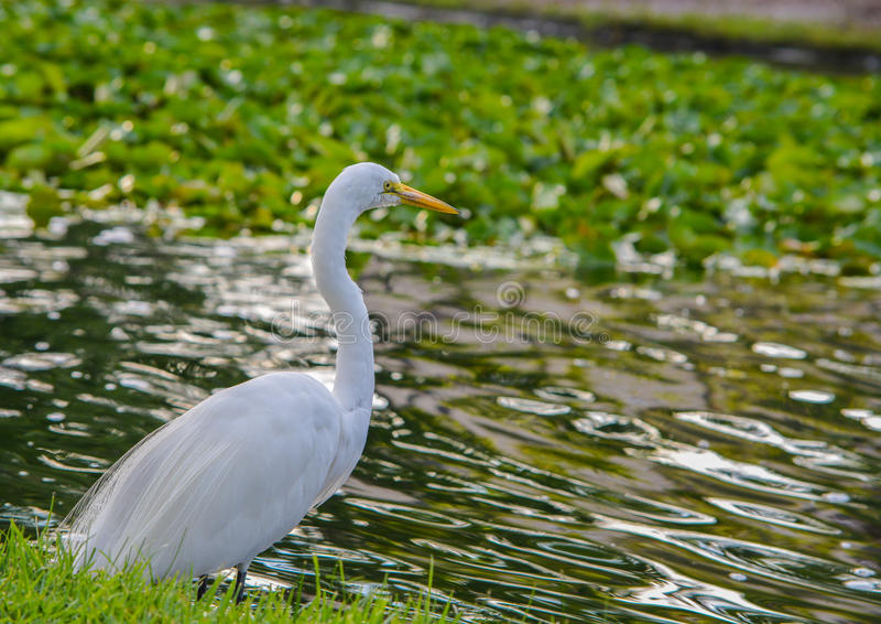 OccidentalisIn herodias ardea цапли большой белизны парк на Largo Central Park в Largo, Флориде стоковое фото rf