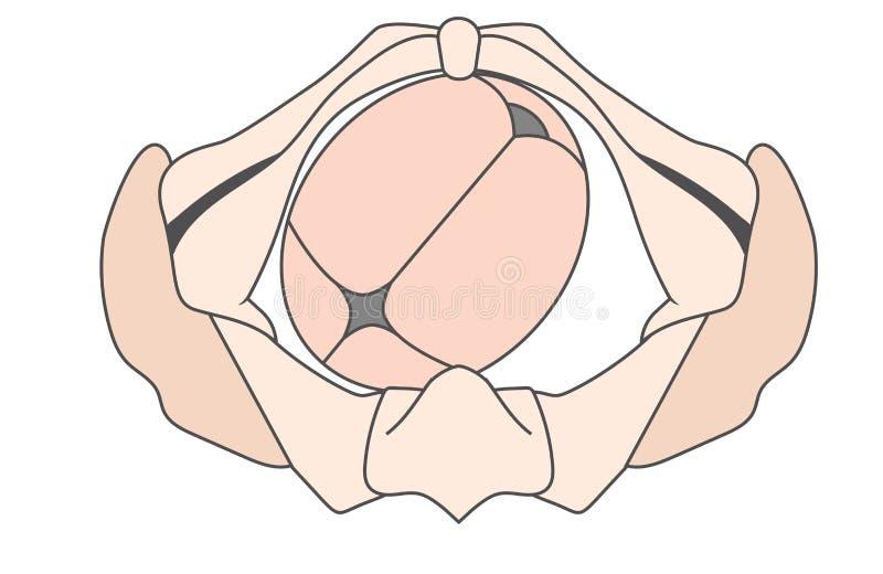 Occiput esquerdo LOA Baby Fetal Position Pelvis anterior - direito de ROA ilustração royalty free
