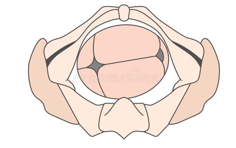 Occiput esquerdo transversal | Direito da PODRIDÃO da pelve da posição Fetal do bebê do LOTE ilustração stock