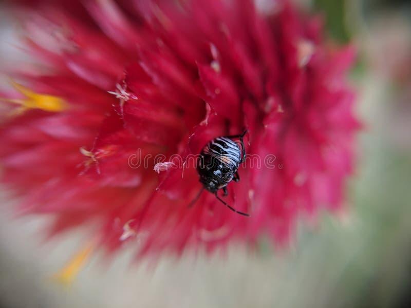 Occupante rosso del fiore fotografie stock libere da diritti