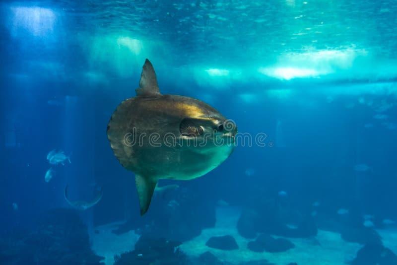 Oceaan sunfish of gemeenschappelijke mola (Mola-mola) in Lissabon Oceanarium in Portugal royalty-vrije stock afbeelding