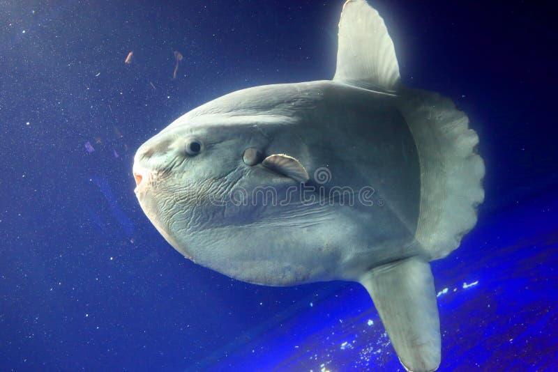 Oceaan sunfish (mola Mola) stock fotografie