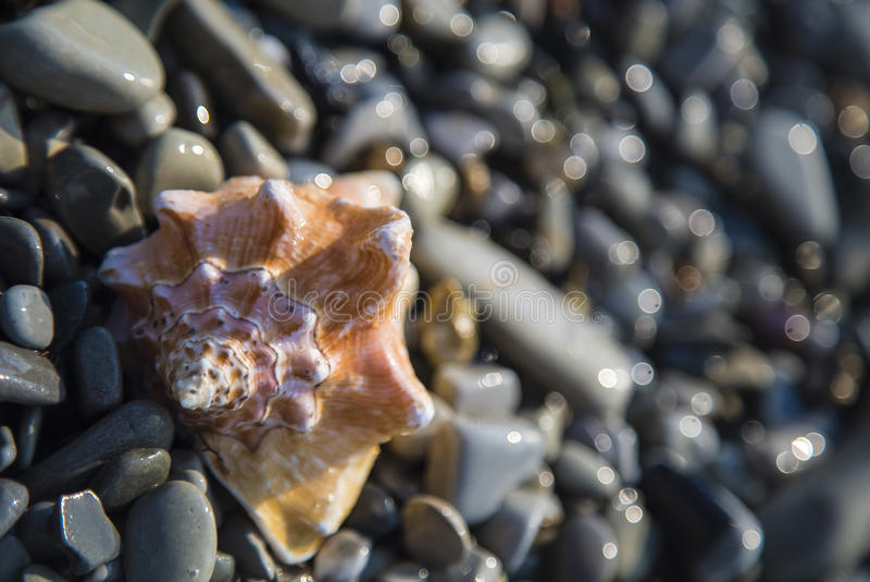 Oceaankroonslakshell op het peeble strand royalty-vrije stock afbeelding