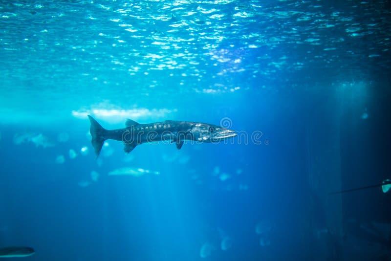 Ocean big fish in a large aquarium tank. Lisbon aquarium. royalty free stock photography
