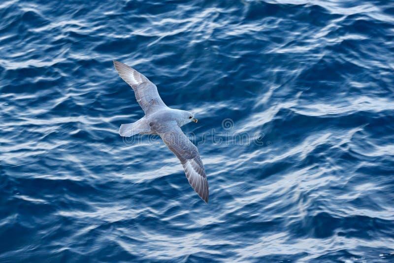 Ocean bird. Bird with blue ocean. Northern Fulmar, Fulmarus glacialis, white bird, blue water, dark blue ice in the background, an. Imal flight Arctic nature royalty free stock images