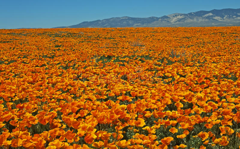 Ocean of California poppies. Awash in an amazing ocean of wild poppies, Antelope Valley west of Palmdale, California royalty free stock photo