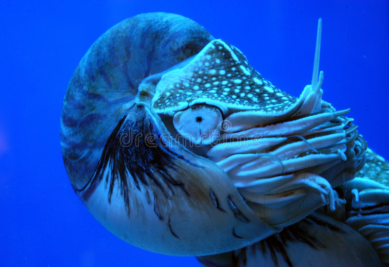 Ocean creature. A nautilus - deep ocean creature with a conker royalty free stock images