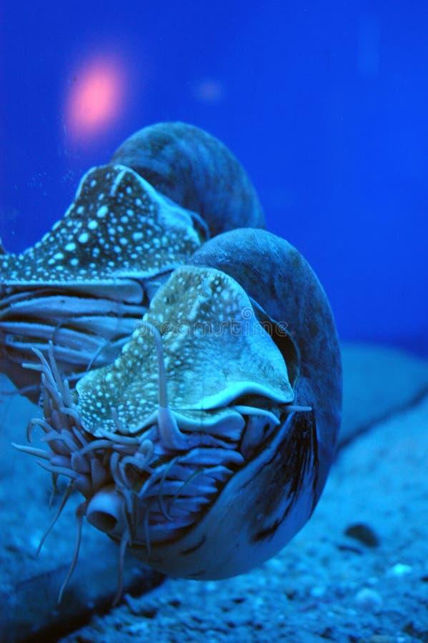 Ocean creatures. A pair of nautilus - deep ocean creatures with a conker stock photos