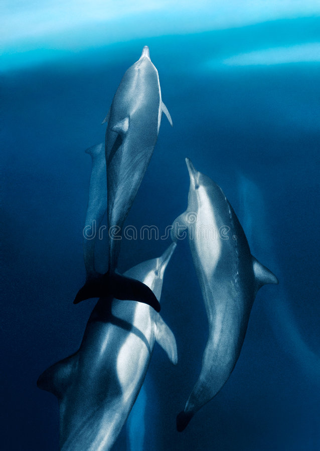 Ocean Flyers. Common dolphins riding the bow wake of a boat in the Sea of Cortes, Baja Mexico