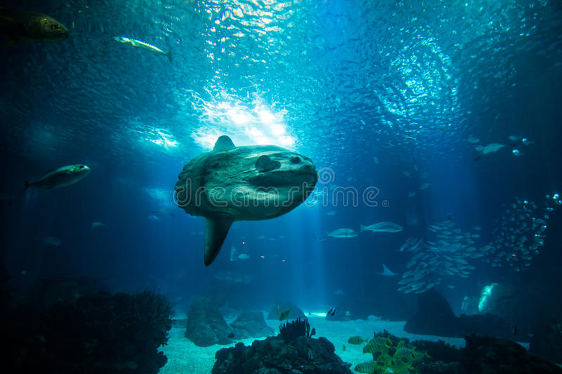 Ocean giant fish world in aquarium for observation. royalty free stock photos