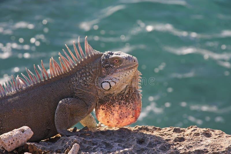Ocean iguana royalty free stock images