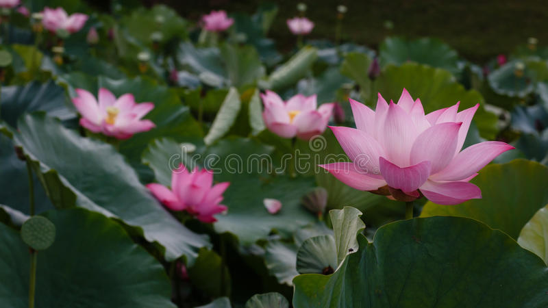 The Ocean of Lotus royalty free stock photography